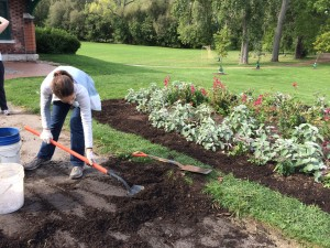 Volunteer shoveling mulch